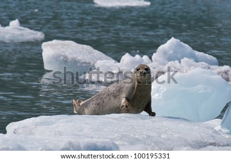 A photo of a harbor seal (also known as the common seal) resting on an ice flow in Prince William Sound off the coast of Alaska. - stock photo