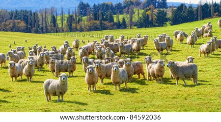 A photo of a herd of sheep in New Zealand - stock photo