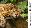 A photo of a male jaguar (Panthera onca) - stock photo