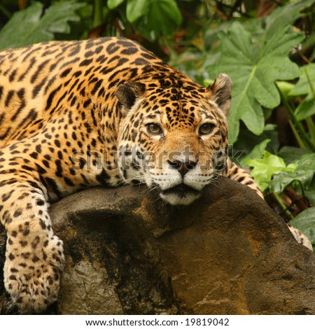 A photo of a male jaguar (Panthera onca)