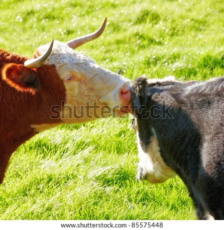 A photo of a Red cow in New Zealand - stock photo