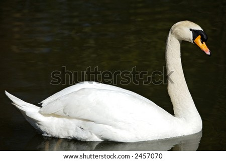 a photo of a swan in freedom - stock photo