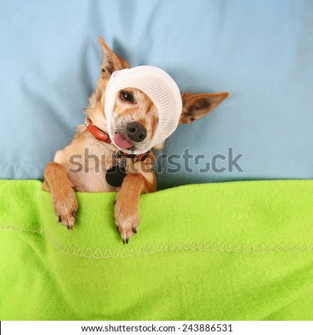 a photo of a tiny cute chihuahua with a bandage on his head in bed  - stock photo