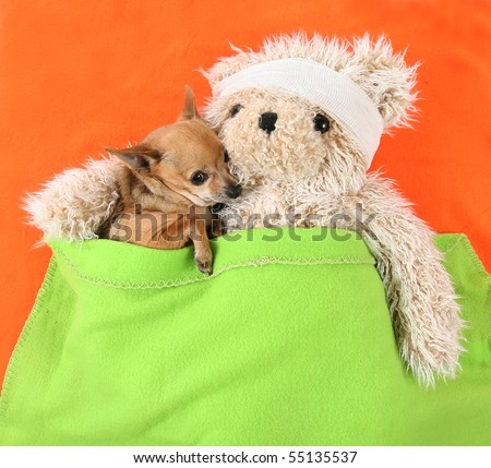 a photo of a tiny cute chihuahua with a sick bear - stock photo