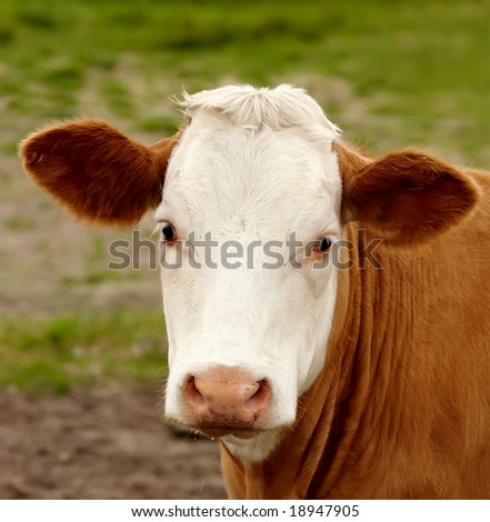 A photo of a typical farm cow - stock photo