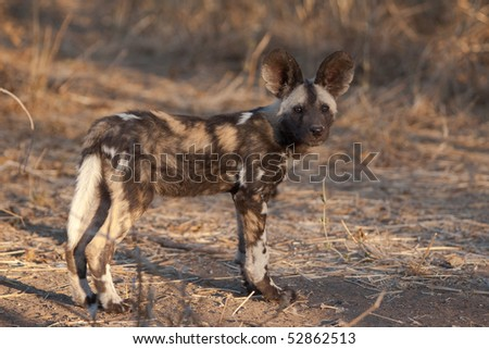 A photo of a wild dog puppy showing its whole body side-on - stock photo