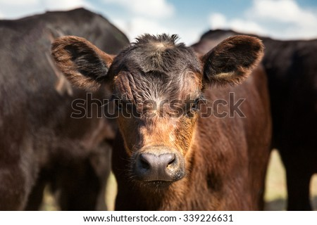 A photo of a young black Angus calf looking into the camera on a ranch in the midst of a larger herd of calves. - stock photo