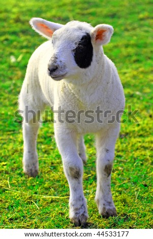 a photo of a young sheep in spring 2009