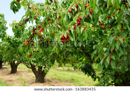 A photo of beautiful cherry trees with cherries in orchard. - stock photo