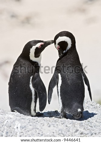 A photo of caring penguins (very sharp and detailed) - stock photo