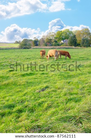 A photo of cows in New Zealand - stock photo