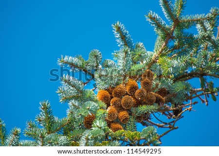 A photo of Pine Cone And Branches - stock photo