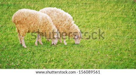 a photo of sheep in green field farm,texture technical - stock photo