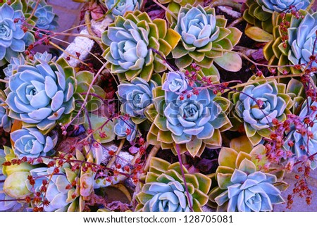 A photo of  succulent echeveria rosettes