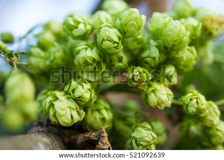 A photo of the hops farm