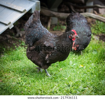 A photo of two black free range chickens in a farm field.  - stock photo