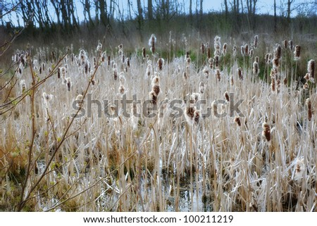 A photo of Typha latifolia, Common Bulrush