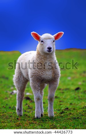 a photo of young sheeps in spring 2009 - stock photo