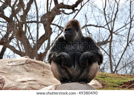 A photograph of a ape sitting on some rocks. - stock photo