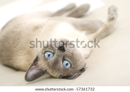 A photograph of a beautiful siamese cat playfully laying on her side. - stock photo