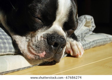 A photograph of a boston terrier puppy napping in the Oklahoma sun.