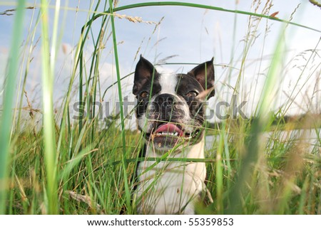 A photograph of a boston terrier puppy smiling while hiding in the tall green grass and weeds.