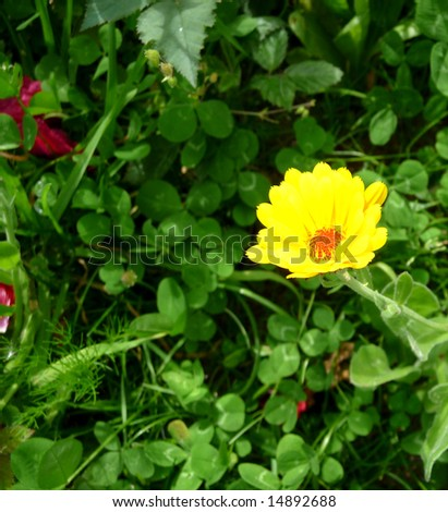 A photograph of a Marigold flower against some green leaves. - stock photo
