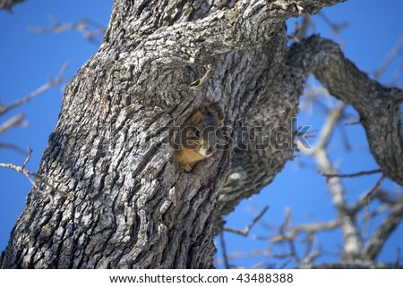 A photograph of a Oklahoma squirrel looking out a hole in a tree. - stock photo