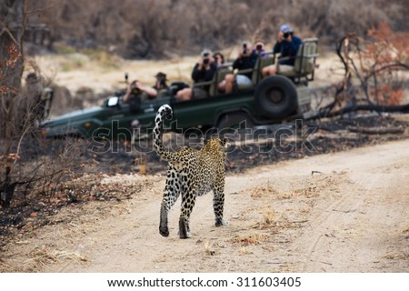 A photograph of a safari vehicle full of tourists watching a leopard, Panthera  pardus, walking on a dirt road at Elephant Plains, Sabi Sands Game Reserve, Mpumalanga province, South Africa. - stock photo