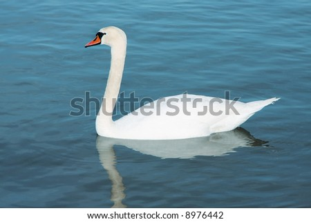 A photograph of a white young swan