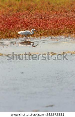 a photographic image in portrait format of a little egret in its natural habitat of swampland or coastal wetland marsh with focus on the white bird while hunting along the reed edge for food - stock photo