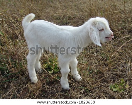 a picture of a baby goat