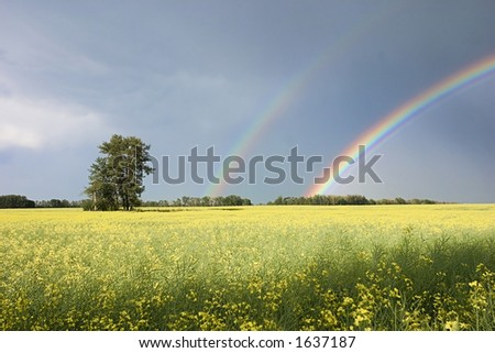 A picture of a canola field with a group of trees and a double rainbow - stock photo