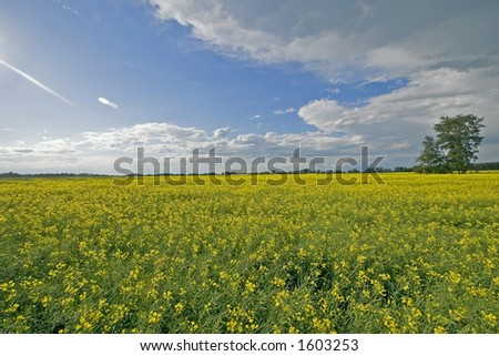 A picture of a canola field with a tree to the right - stock photo