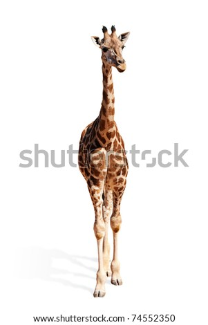 A picture of a cute baby giraffe standing against white background - stock photo