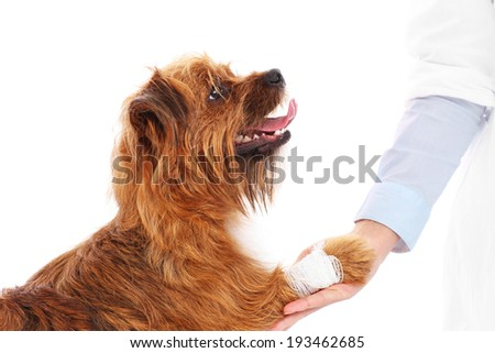A picture of a dog with hurt paw giving thanks to the vet - stock photo