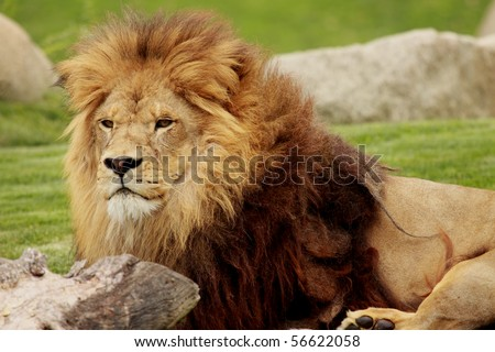 a picture of a fantastic african lion - stock photo
