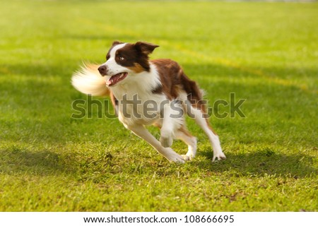 A picture of a fast border collie running on the green grass - stock photo