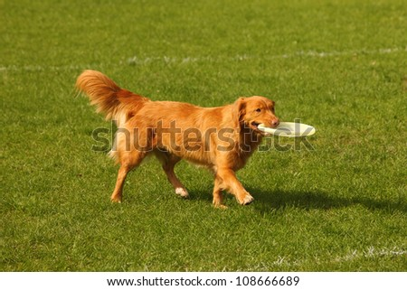 A picture of a red dog with a frisbee disc on the green grass - stock photo