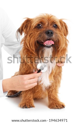 A picture of a terrier being examined by a vet over white background - stock photo