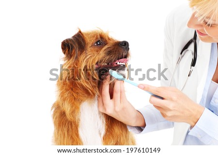 A picture of a vet brushing dog's teeth - stock photo