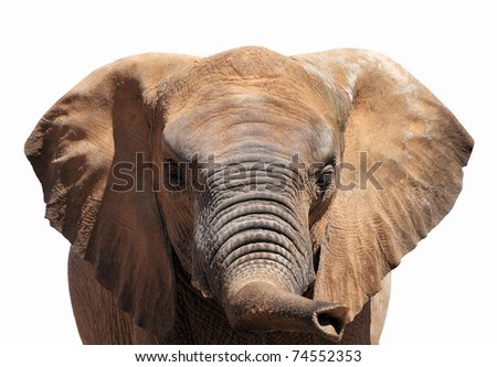 A picture of an elephant showing his trunk over white background - stock photo