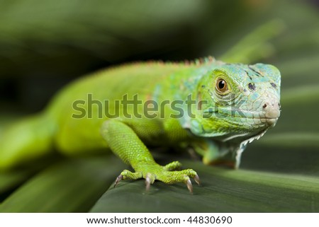 A picture of iguana - small dragon, lizard, gecko