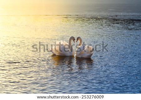 A picture of two swans forming a heart during sundown