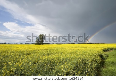 A picture with a canola field and a double rainbow. - stock photo