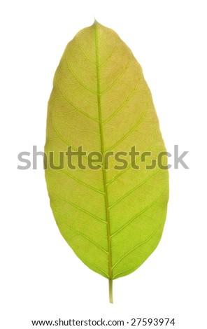A piece of leaf isolated in white background