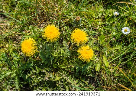 A piece of ordinary nature on a sunny day in spring with blooming dandelions and daisies from close. - stock photo