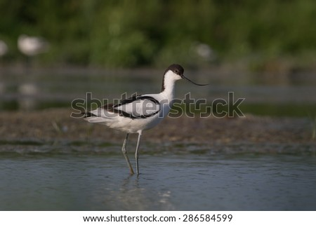 A pied avocet standing in shallow water