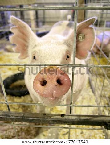 a pig at a local fair close up shot  - stock photo