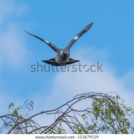 A pigeon in flight against a blue sky. - stock photo
